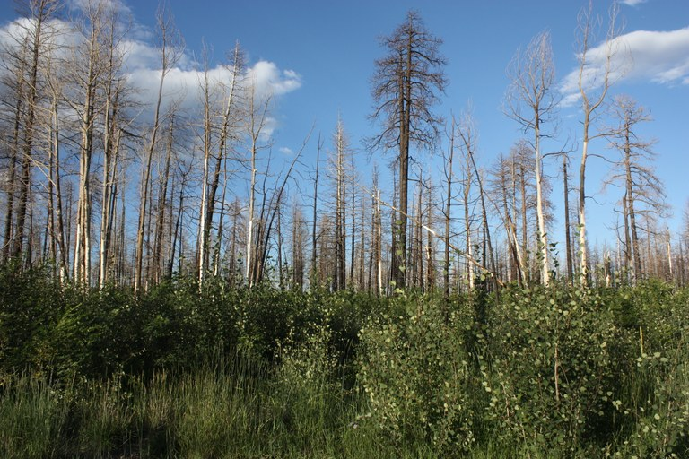 At higher, wetter elevations, some conifer stands that perished and aspen stands that burned are being colonized by young aspen. Aspen roots can survive underground while conifers dominate aboveground, and after aspen trees are burned. Here, hordes of aspen saplings carpet the forest floor in one part of the burn scar.
