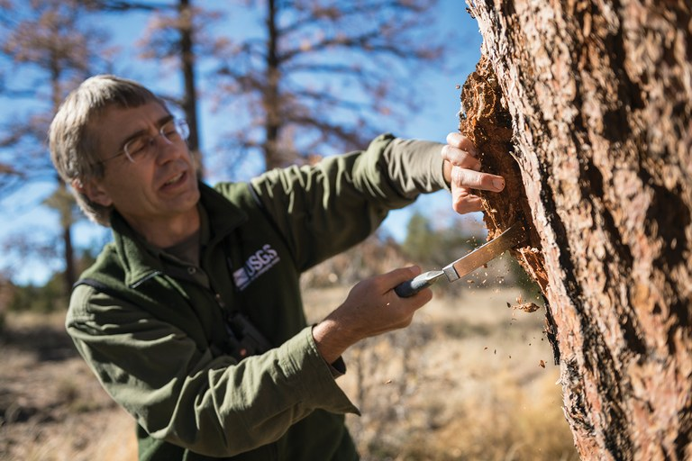 USGS research ecologist Craig Allen inspects a dead pine to gain information about how it died.