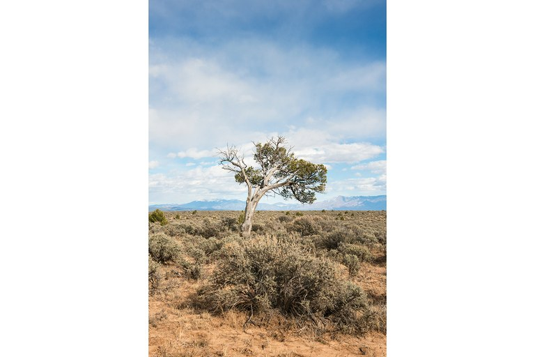 During periods of drought, piñon trees like this one near Tres Piedras, New Mexico, close their pores to conserve energy and water, while junipers under extreme stress cut off circulation to some limbs. These tactics may not save New Mexico's piñon-juniper forests if the warming trend continues, putting old forests around the West – and the world – at risk.