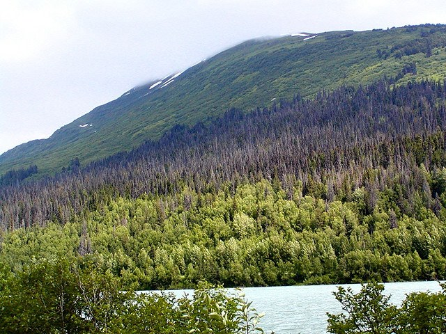 Spruce on Alaska's Kenai Peninsula have been devastated by bark beetle populations, which have ballooned due to warm winters and summers. Elsewhere in Alaska, white spruce growth has begun responding negatively to warmer temperatures, raising concerns that more forests are vulnerable to death.