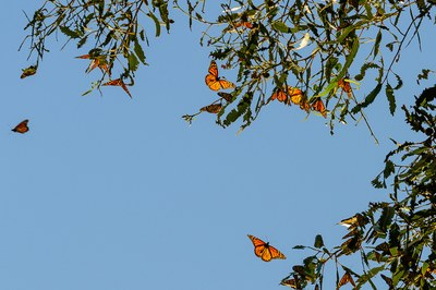 A native butterfly finds merit in a nonnative tree
