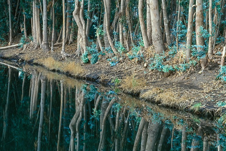 Eucalyptus trees reflect in the canal at the Sweet Springs Nature Preserve.