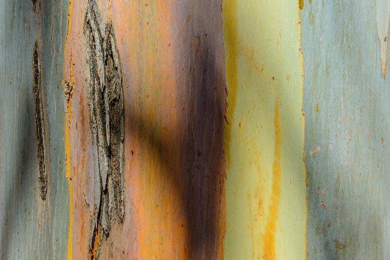 A detail of the blue gum's colorful bark.