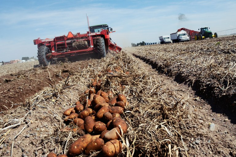 Potatoes are a mainstay of the San Luis Valley economy, with more than 50,000 acres in production.