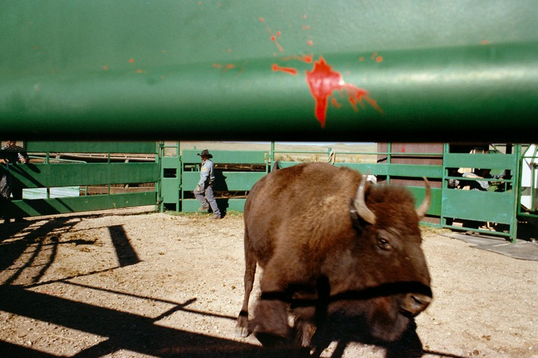 """Buffalo Roundup, 2007,"" from My Dakota"
