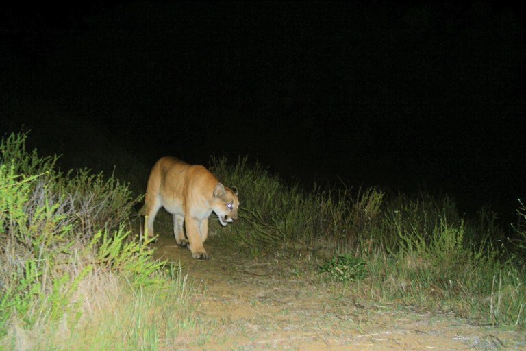 The February 2012, camera trap image that proved P-22's residency in Los Angeles' Griffith Park, near Hollywood. Boxed in by the city, it is unlikely that P-22 will find a mate.