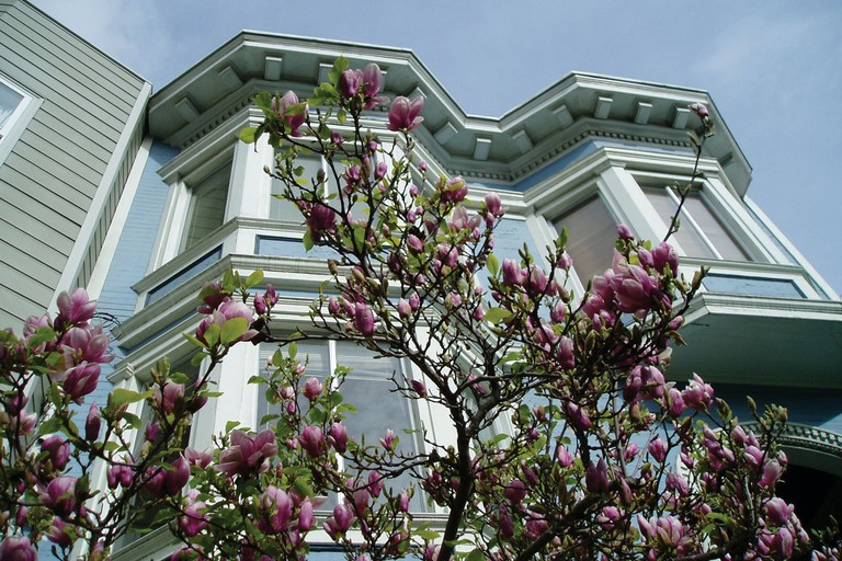 Magnolia soulangiana in the Castro District.