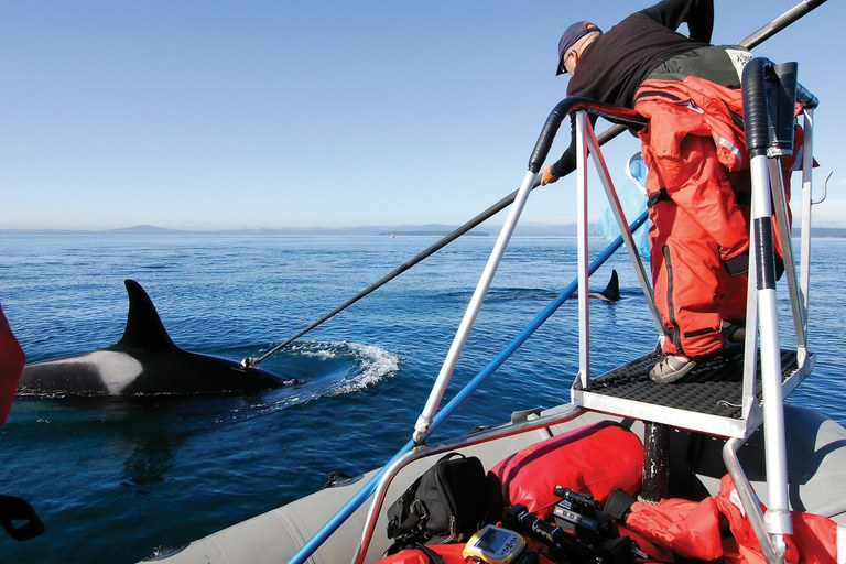 A NOAA researcher attempts to stick a suction cup tag to an orca near the San Juan Islands, Washington.  Deborah Giles/U.C. Davis courtesy NOAA . Photos taken under NMFS Permit #781-1824