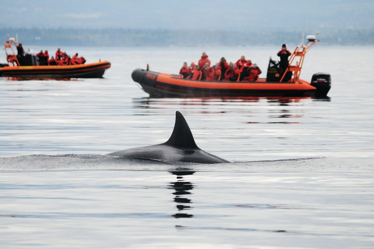 As many as 25 whale-watching vessels may follow the Puget Sound orca pods during peak traffic periods.
