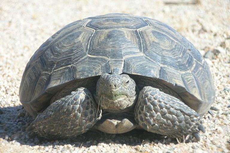 A Mojave desert tortoise.