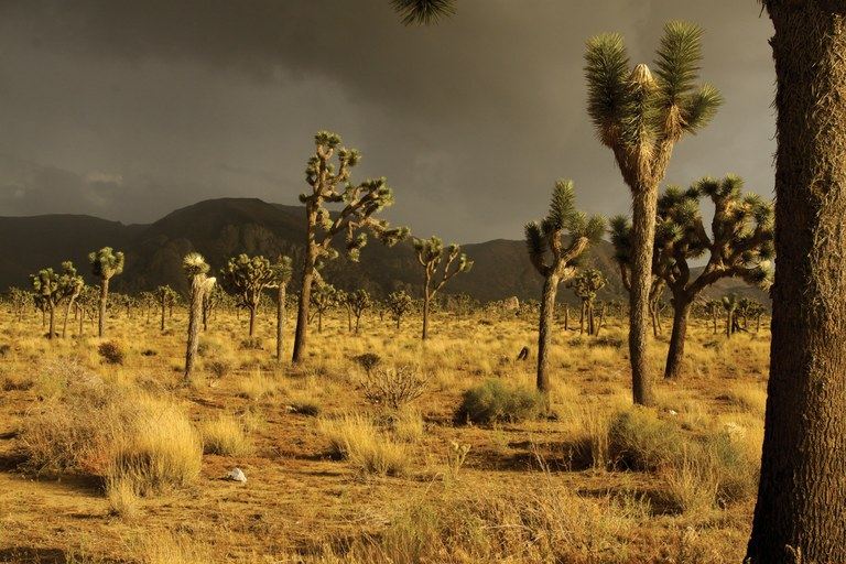 Otherworldly light during a summer rainstorm in California's Joshua Tree National Park. The park is protected from renewable energy development, but projects proposed within the 141,000-acre solar energy zone nearby would be visible from the park's southern border.