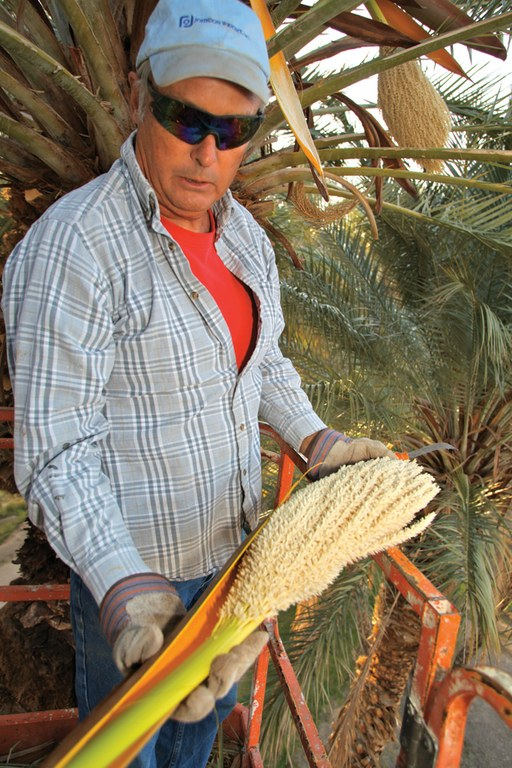 Brian Brown harvests male date palm flowers to use to pollinate the plants by hand.