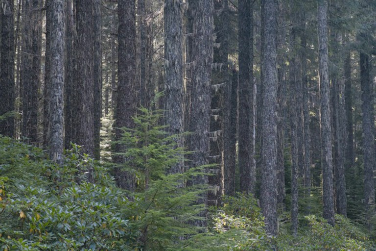 BLM forest slated for logging using the new ecological forestry model proposed by Jerry Franklin and Norm Johnson, in the White Castle sale area in Oregon.
