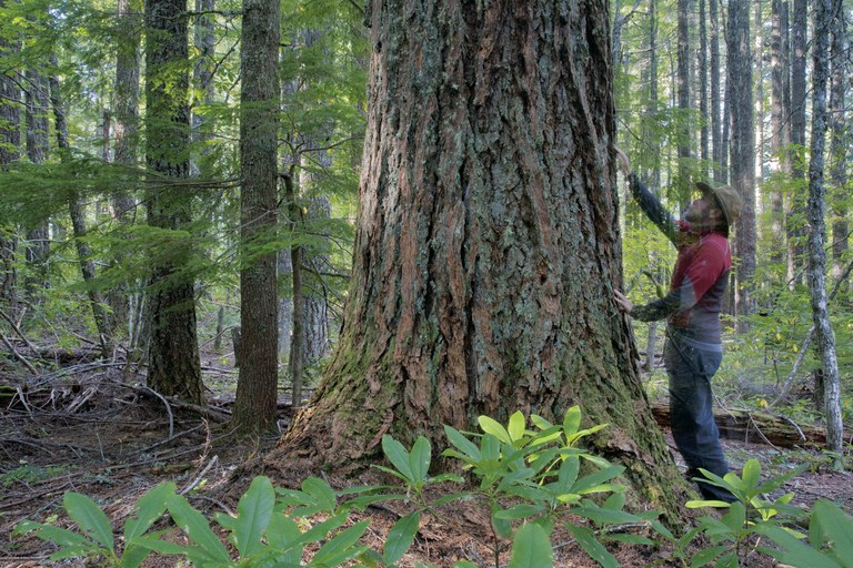 An old-growth Douglas fir in the White Castle pilot project area near Roseburg, Oregon. Legacy trees like this (with the photographer standing for scale) would be retained, but the surrounding trees could be cut, except in retention areas, where larger swaths of trees are preserved.