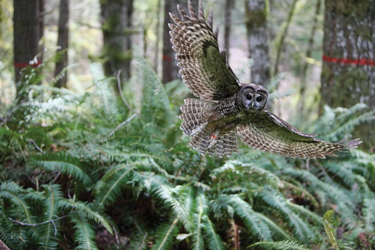A northern spotted owl in BLM forest in Oregon's Salem District.
