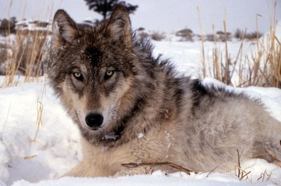 Trappers catch a lot more than wolves