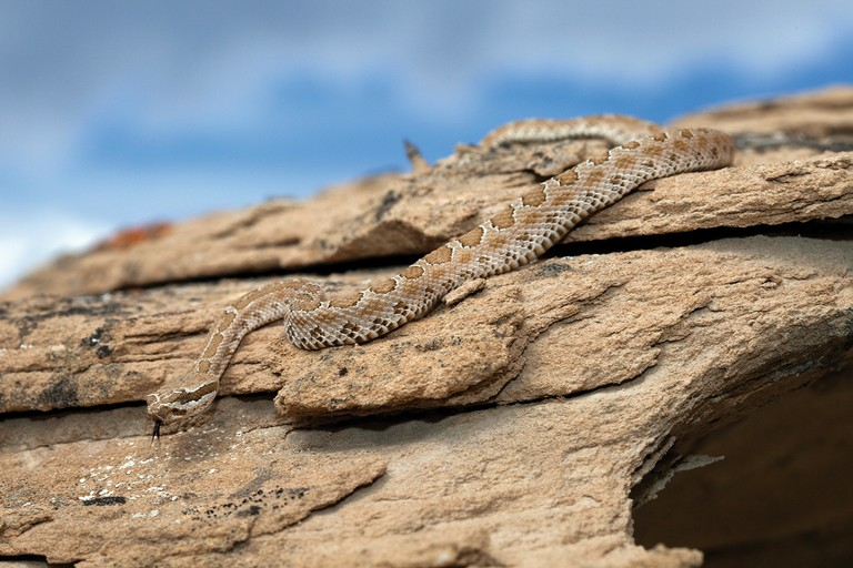 A large yearling midget faded rattlesnake found near its den in Rio Blanco County, Colorado.