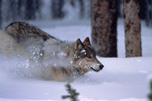 Other voices: the debate on wolf hunting from both sides