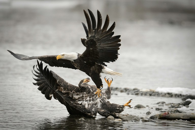 An adult bald eagle knocks down a juvenile feeding on a salmon carcass on the banks of the Chilkat River in the Alaska Chilkat Bald Eagle Preserve.