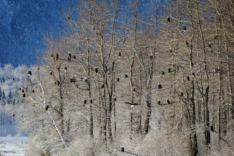 Nearly 60 bald eagles crowd together in a stand of cottonwood trees in the Chilkat Bald Eagle Preserve, thought to host the world's greatest congregation of the birds each fall.