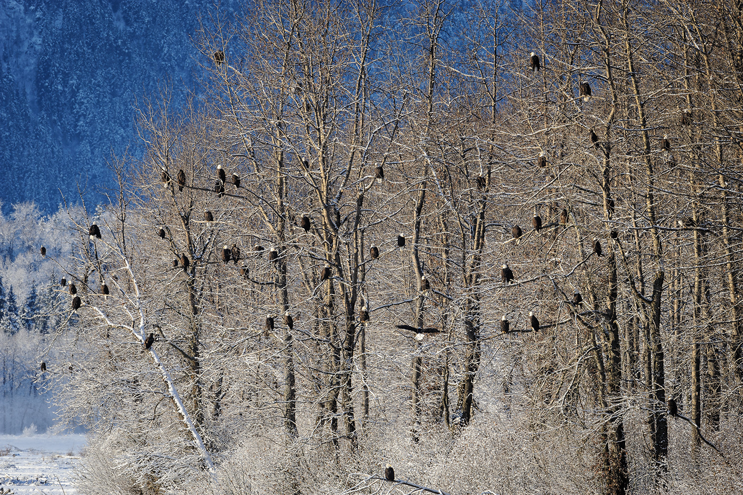 Alaska haines county - Nearly 60 Bald Eagles Crowd Together In A Stand Of Cottonwood Trees In The Chilkat Bald Eagle Preserve Thought To Host The World S Greatest Congregation Of