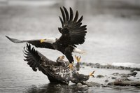 Could an Alaska mining project jeopardize Earth's largest bald eagle gathering?