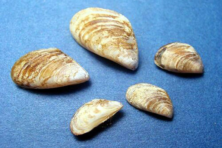 Quagga mussel samples.