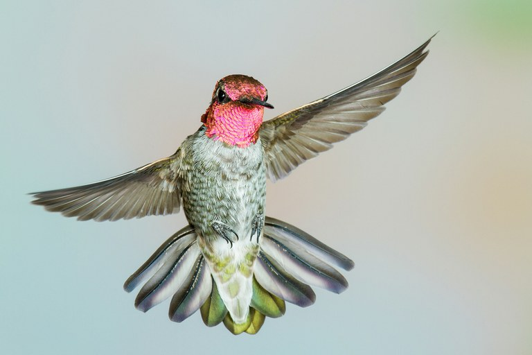 An Anna's hummingbird, frozen in flight.