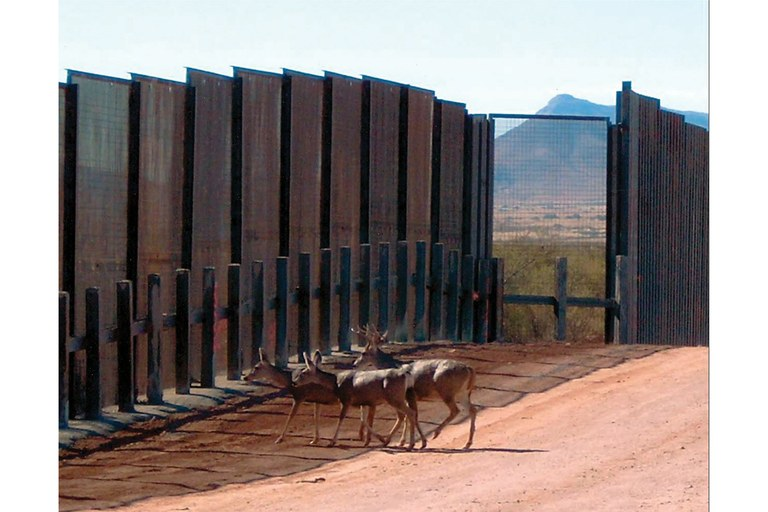 Mule deer blocked by the border fence through Arizona's San Pedro Riparian National Conservation Area.