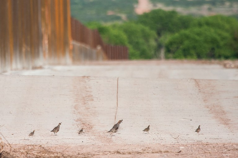 A family of Gambel's quail turns away from the border wall in the San Pedro National Riparian Corridor in Arizona.