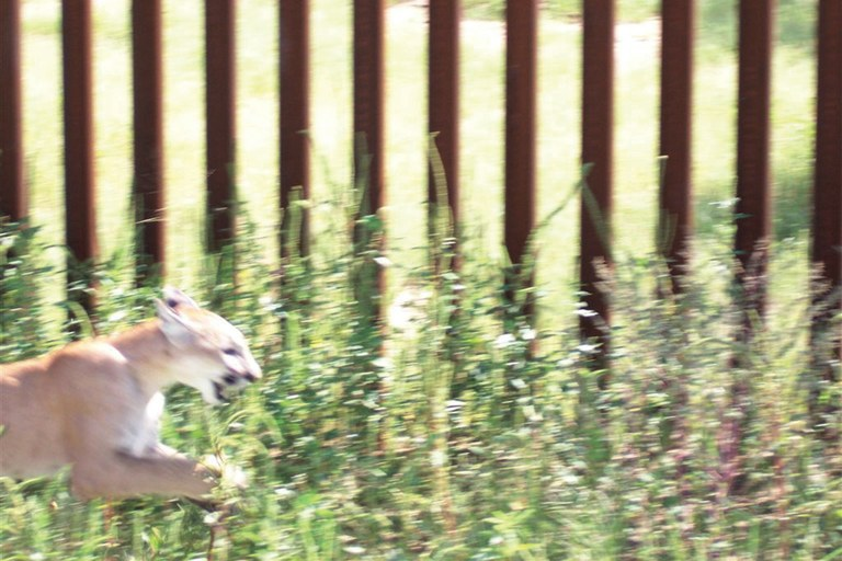 A cougar races along the pedestrian barrier in the Buenos Aires National Wildlife Refuge. Apparently, her cub had squeezed through.