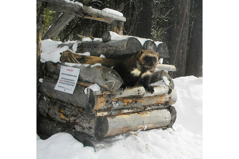 Combining that data with results from GPS-collared wolverines, above right, the study seeks to determine the impact of winter recreation on wolverines, if any.