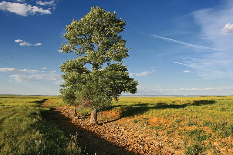 Cottonwood trees grow in an intermittent stream in Albany County, Wyoming.