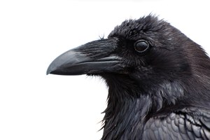 Are we smart enough to solve our raven problem?