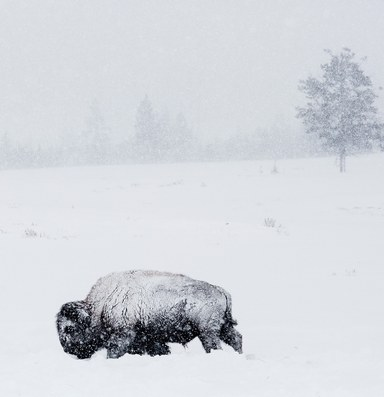 The Latest: Interior commits to restoring bison on select lands
