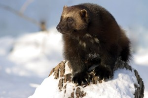 Climate changes for wolverine listing