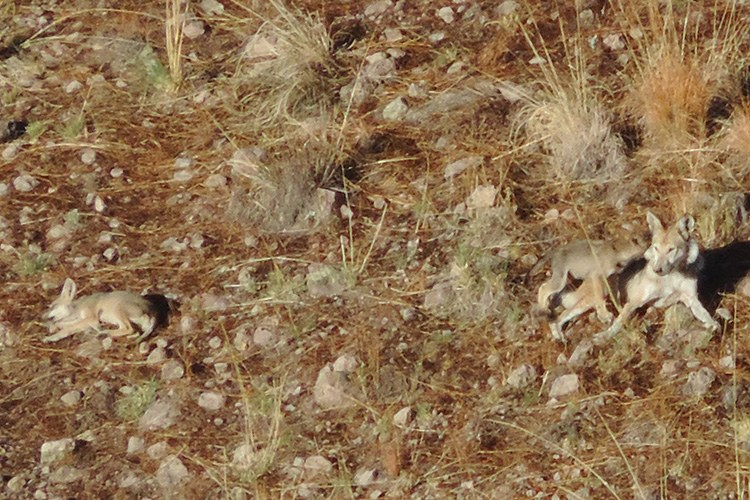 This summer, the first known litter of wild Mexican gray wolf pups was born in the western Sierra Madre.