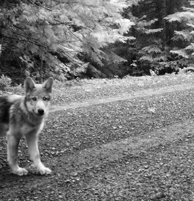 Wolf pups, and the return of wild wonder