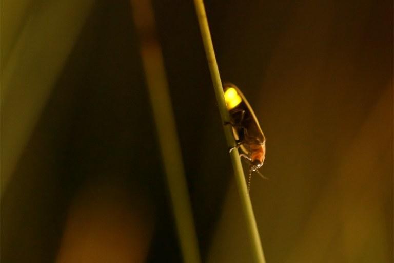 On the hunt for fireflies in Utah