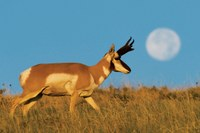 Photographs of America's pronghorn antelope