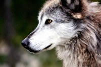 The Latest: Wyoming's wolf delisting thrown out