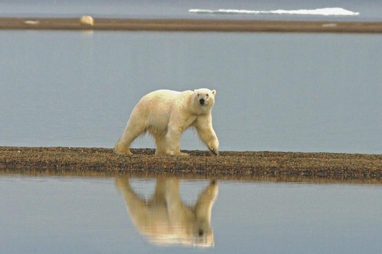 badbills-polarbear-jpg