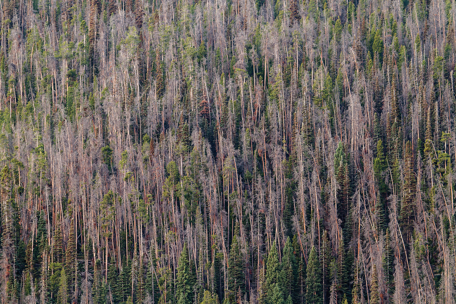 Beetle Killed Lodgepole Pines Cover A Hillside Among Living Engelmann Spruce And Subalpine Fir On The West Slope Of Snowy Mountains In Wyoming