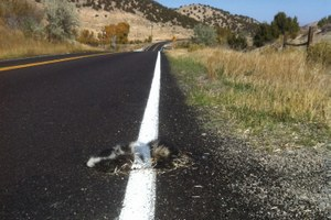 Sage grouse found walking through Wyoming underpass