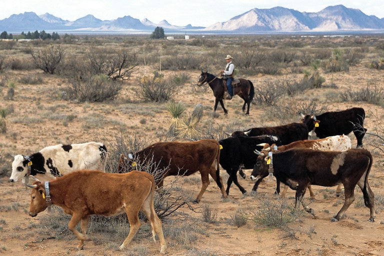 The desert-friendly cow