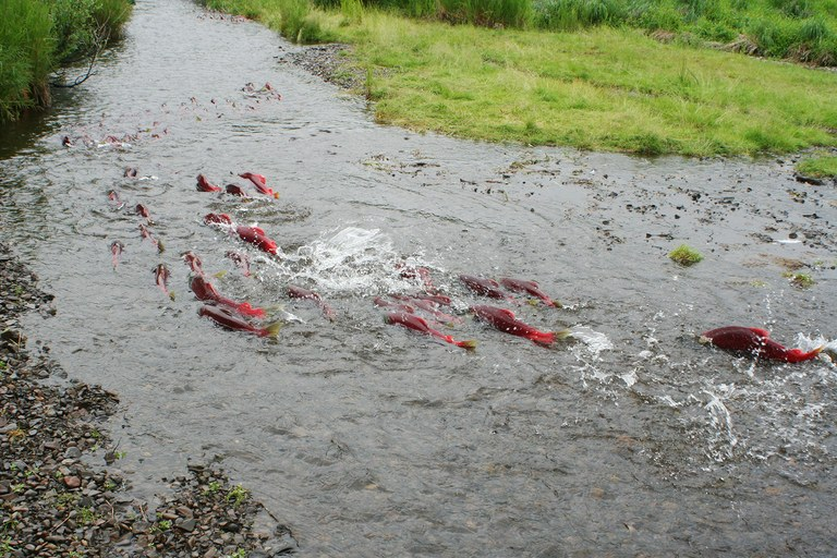 Spawning salmon in Alaska's Bristol Bay watershed.