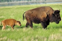 Latest: Bison transferred to Fort Peck Indian Reservation