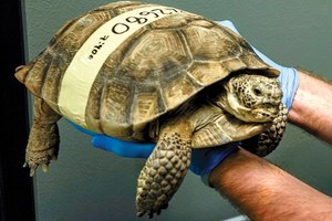 A fix for the desert tortoise