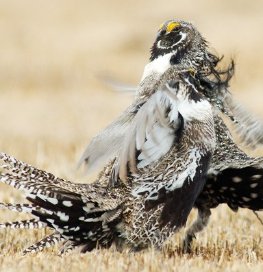 A grouse divided