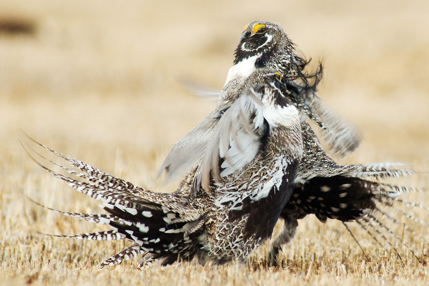 A grouse divided — High Country News